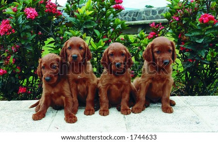 Irish Setter Puppies on Two Months Old Pure Breed Red Irish Setter Puppies Posing In A Row