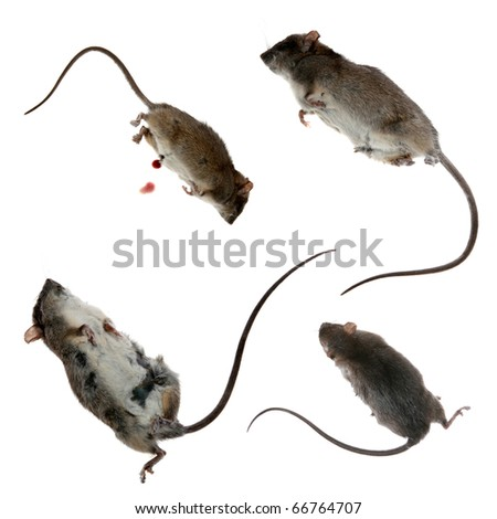 four views of a Dead Rat, isolated on white.