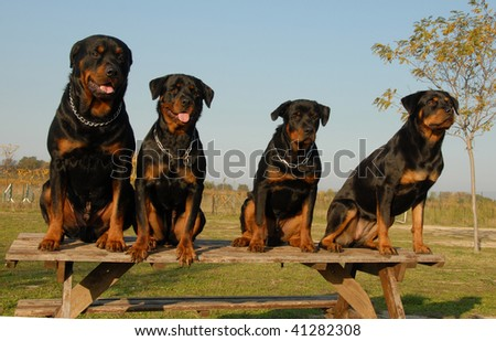 four watching dogs: family of purebred rottweiler