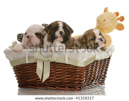 Weaning Puppies on Week Old English Bulldog Puppies In A Wicker Basket With Stuffed Toys