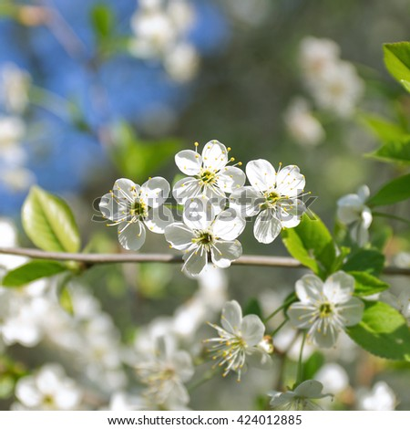 Four white flowers of cherry blossom on branch close up ez canvas four white flowers of cherry blossom on branch close up mightylinksfo