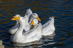 Four white pekin ducks (also know as Aylesbury or Long Island ducks) huddled together swimming on a cold winter's day