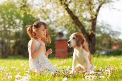 Four-year-old girl on a Sunny summer day with a Beagle on a lawn with daisies. Active rest on the nature.