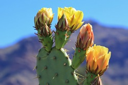 Four yellow flowers, three of which are in bloom, sprout from the edge of a prickly pear cactus pad.