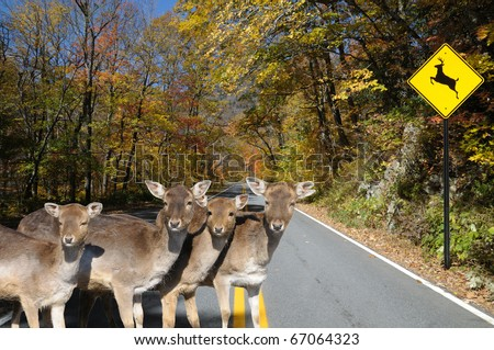 Four young does crossing a highway in front of a deer crossing sign.