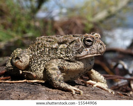 Fowler's Toad in Ontario, Canada - stock photo