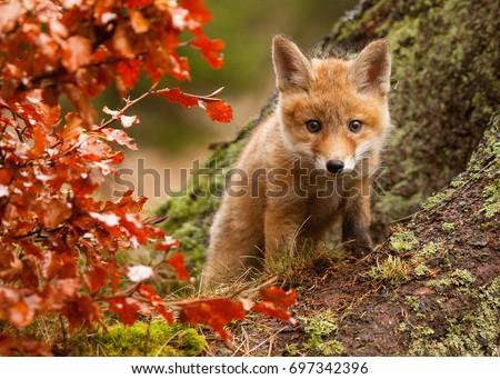 Fox #697342396