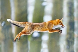 Fox flight. Red Fox jumping , Vulpes vulpes, wildlife scene from Europe. Orange fur coat animal in the nature habitat. Fox on the green forest meadow. Action fly funny scene from nature.