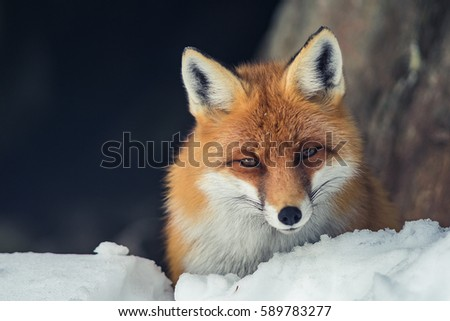 Fox in a snow #589783277