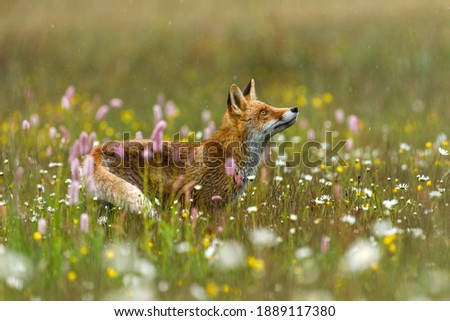 Fox in flowers. Red fox, Vulpes vulpes, standing on colorful flowered meadow and observing raindrops. Orange fur coat animal hunting in spring rain. Beautiful beast in nature habitat. Wildlife scene.