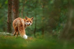 Fox in green forest. Cute Red Fox, Vulpes vulpes, at forest on mossy stone. Wildlife scene from nature. Animal in nature habitat. Animal in green environment.