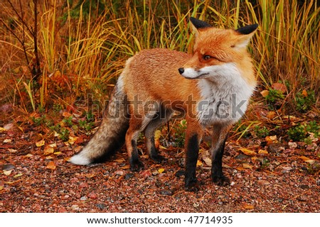 Fox in its natural habitat - stock photo