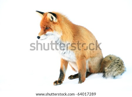 Fox in natural habitat