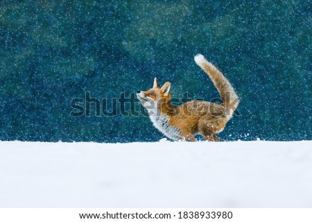 Fox in snowfall. Red fox, Vulpes vulpes, jumping in snow and playing with snowflakes. Pure winter fun of beautiful beast. Orange fur coat animal with fluffy tail. Wildlife scene from winter nature.