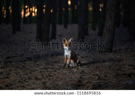 fox in the woods among the trees. wild animal in the wild in evening in forest glade