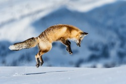 fox jumping to hunt for mouse in yellowstone hayden valley on snowy winter day