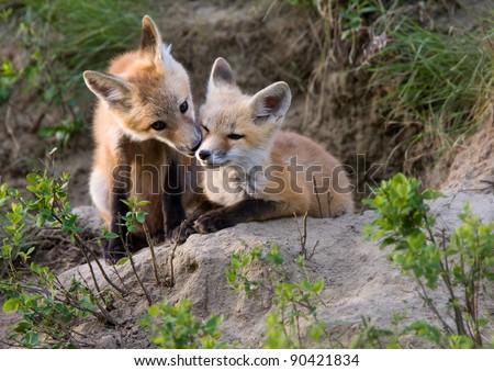 Fox Kits Canada at play Saskatchewan Canada
