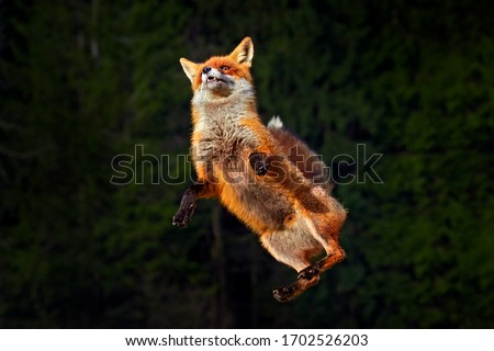 Fox leap jump in forest.  Fox flight. Red Fox jumping , Vulpes vulpes, wildlife scene from Europe. Orange fur coat animal in the nature habitat. Fox on the green forest meadow. Action fly funny scene