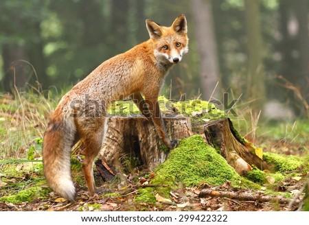 Fox on stump