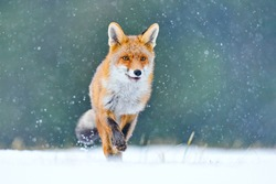 Fox on the winter forest meadow, with white snow.Red Fox hunting, Vulpes vulpes, wildlife scene from Europe. Orange fur coat animal in the nature habitat.