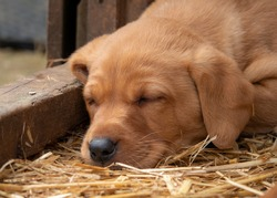 Fox red Labrador puppy fast asleep in the barn. Selective focus.
