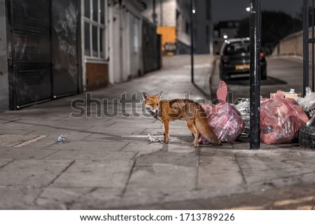fox roaming the streets of London in search for food Сток-фото ©
