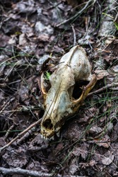 fox scull on dry leaves forest ground closeup with selective focus and blur