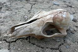 Fox skull, fox cranium, bones in the field