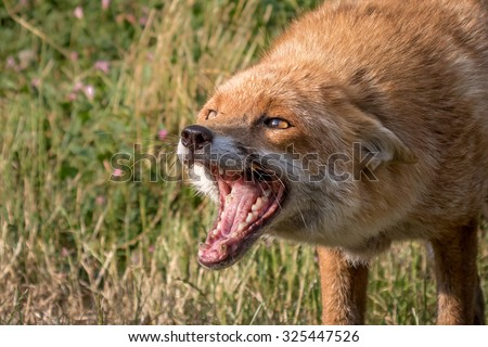Fox snarling head shot with green foliage background. #325447526
