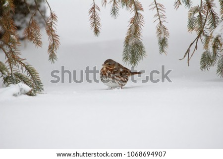 fox sparrow seeking cover under ...