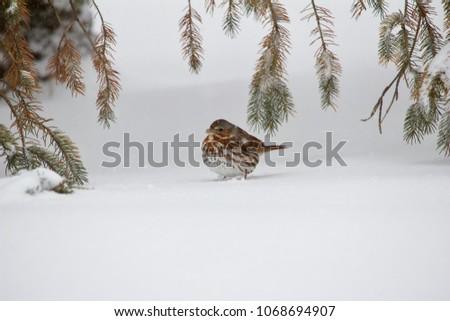fox sparrow seeking cover under ...