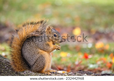 Fox squirrel eating nuts in autumn