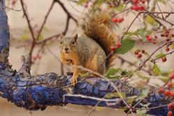 Fox squirrel (Sciurus niger) sitting on tree branch with cortex blue colored. Urban wildlife from city park. Also know as eastern or Bryant's fox squirrel. Habitat North America. Denver, Colorado.