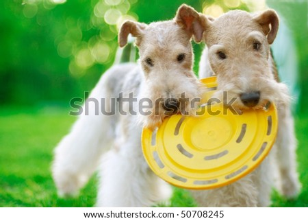 Fox terrier close up against a green grass