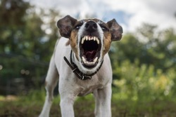 Fox terrier dog is angry, aggression