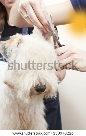 Fox terrier getting his hair cut at the groomer