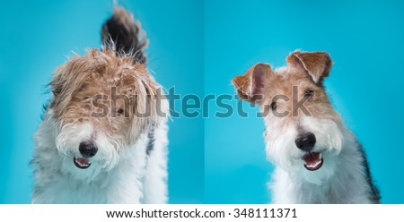 Fox Terrier grooming