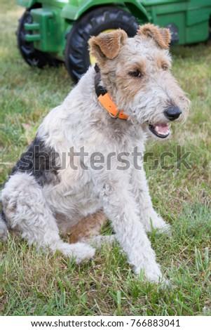 Fox Terrier on the grass sit in garden  #766883041