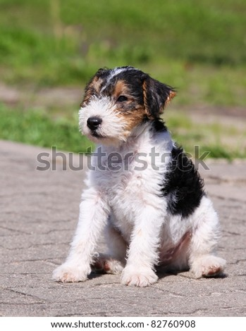 Terrier Puppies on Fox Terrier   Puppy Stock Photo 82760908   Shutterstock