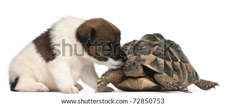 Fox terrier puppy, 1 month old, and Hermann's tortoise, Testudo hermanni, in front of white background
