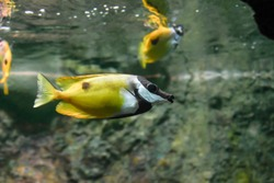 Foxface Rabbitfish - a species of fish found at reefs and lagoons in the tropical Western Pacific.