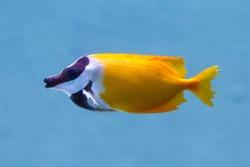 Foxface Rabbitfish (Latin name Siganus Vulpinus) tropical fish. soft focus