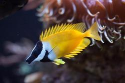 Foxface rabbitfish (Siganus vulpinus). Marine fish.