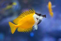 Foxface rabbitfish (Siganus vulpinus). Tropical fish.