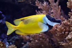 Foxface rabbitfish (Siganus vulpinus). Wild life animal.