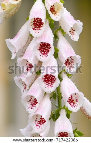 Free photos foxglove white bell shaped flowers avopix bell shaped flower 1105139864 foxglove pams choice digitalis purpurea close up of a large inflorescence mightylinksfo