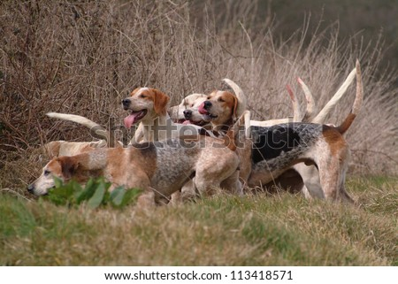 Foxhounds in move on the field #113418571