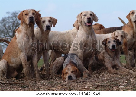 Foxhounds resting on the field after hunt #113421949