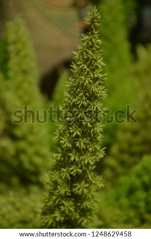 Foxtail fern a semi-evergtreen plant with a  long, upright, plume-like stems hold soft, needle-like leaves, turning red and ornamental berries in fall, excellent for hanging baskets and containers #1248629458