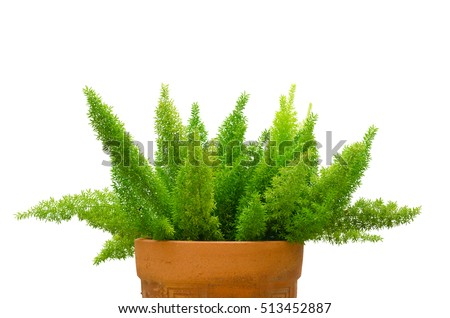 Foxtail fern (Asparagus Densiflorus) isolated on white background